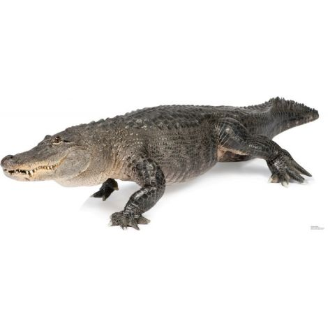 American Alligator Lifesize cutout #1482