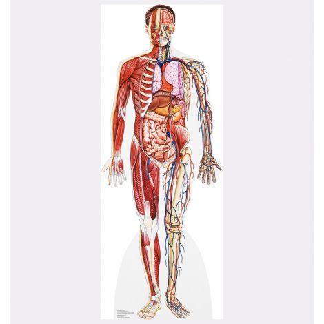 Anatomy – Cross Section Cardboard Cutout #1835