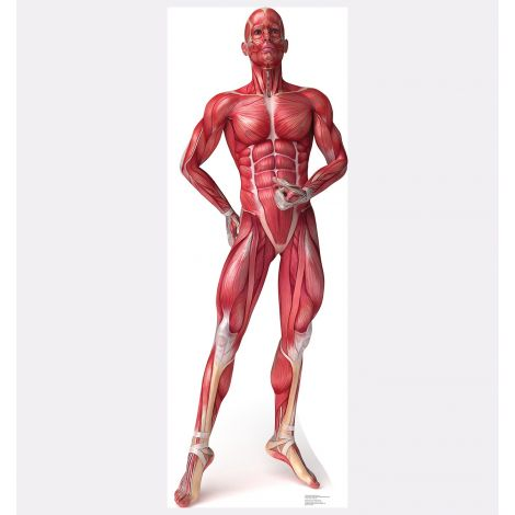 Muscle System – Anatomy Cardboard Cutout *1838