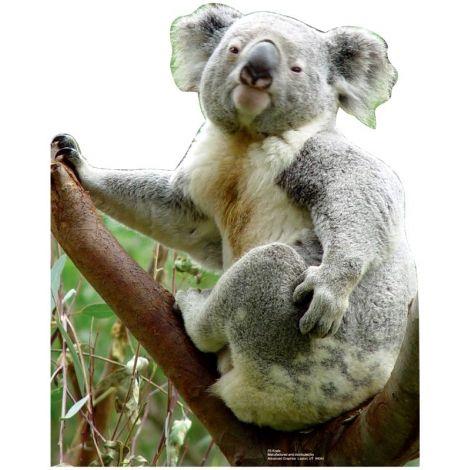 Koala Bear Standup#55